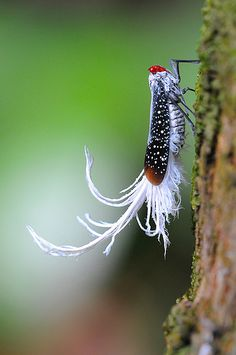 ˚Amazonian Insect, Wax-tailed planthopper