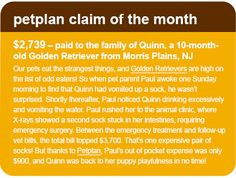 November 2012 Petplan Pet Insurance Claim of the Month: $2,739 paid to the family of Quinn, a 10-month-old Golden Retriever from Morris Plains, NJ who swallowed a sock and needed emergency surgery.