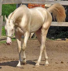 Akhal-Teke -a golden horse from Turkmenistan. Beautiful. PHoto by Spirit of the Deep