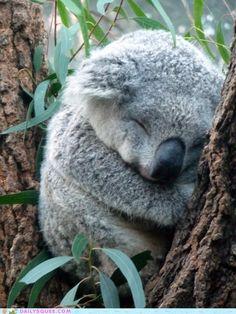 こら、コアラ。