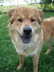 ADOPTED 🙏🏻❤️🙂Bare Bear is an adoptable Golden Retriever Dog in Grayslake, IL. I dont know why Im called Bare Bear I have loads of fur and it is beautiful! At only three years old, Ive already been in three differe...