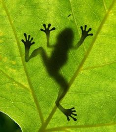 Frog (feet)