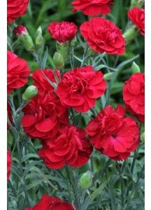 """Adorn your gardens with 'Dianthus'-the lovely frilled flowers which grow in clusters The name is derived from the Greek words dios (""""god"""") and anthos (""""flower"""")- http://9gardens.com/index.php/diathus-double-flowered-mix.html"""