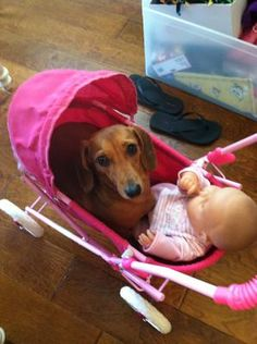 Dachshund Photo Contest Entry: Smooth haired Doxie with baby doll ready to go for a walk