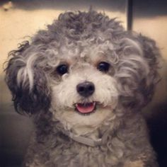 Sweet Toby is a 2yo/12lb poodle looking for his furever home...If you want to foster or adopt please complete an application on our website - www.anarchyanimalrescue.org and return it to us - info@anarchyanimalrescue.org