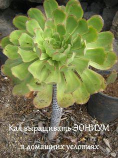Подробное руководство о выращивании декоративных растений рода Эониум #суккуленты Succulents, Plants, Succulent Plants, Plant, Planets