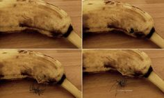 Video captures the terrifying moment a spider bursts out of banana #DailyMail | See this & more at: http://twodaysnewstand.weebly.com/mail-onlinecom