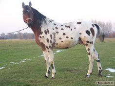 bay near leopard - Polish Half-Bred stallion Cynamon