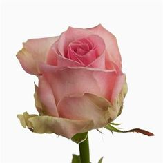 avalanche-sorbet-pale-pink-roses-wholesale-2.jpg (380×380)