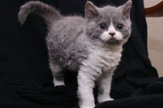 "My little sweethart, ""Fisolo"" is a Selkirk rex shorthair."