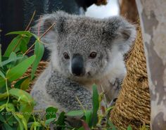 baby koala with smile
