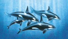 Orca Group Painting by Jon Q Wright - Orca Group Fine Art Prints and Posters for Sale