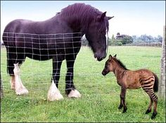 A baby zorse...is it real?