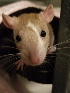 Cute Small Animals, Animals And Pets, Dumbo Rat, Animal Articles, Fancy Rat, Cute Rats, Cute Mouse, Maine Coon Cats, Hamsters