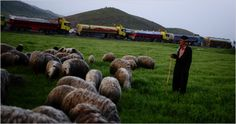 A Kurdish shepherd moved his flock past a column of fuel tankers illegally exporting oil from Iraqi Kurdistan near the Iranian border. —The New York Times