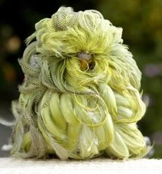 whipper-the-feather-duster-budgie