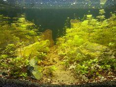 Akvayum dizayn timur tekbaş  aquarium sessiflora monnieri