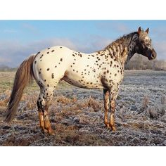 """407 Likes, 6 Comments -  (@the_stockhorse_booty) on Instagram: """"TOPSAIL VIPER - (Topsail Speckles x Ginevra Princess) 2013 chestnut ApHC stallion. #TopsailViper…"""""""