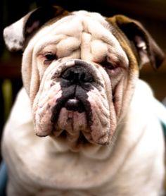 English Bulldog Pictures, English Bulldog Funny, Bulldog Pics, Bulldog Puppies, Cute Dogs And Puppies, Baby Dogs, Doggies, Animals And Pets, Cute Animals