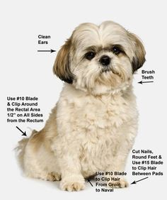 'How-to' Shih Tzu Grooming Style Photos | Pet Grooming Shih Tzu http://www.ebay.com/itm/Shih-Tzu-Grooming ...