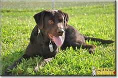 Read Shiloh's story the Chocolate Labrador Retriever from Fort Hood, Texas and see his photos at Dog of the Day http://DogoftheDay.com/archive/2013/October/15.html .