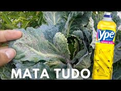 DETERGENTE, acaba com PULGÕES, COCHONILHAS E MOSCA BRANCA - YouTube Gym Workout Videos, Fiji Water Bottle, Garden Pests, Nature, Youtube, Veneno, Vertical Vegetable Gardens, Small Vegetable Gardens, Hydrangea Colors
