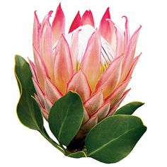 8-acre Kula Botanical Garden, which showcases orchids, proteas (pictured), and other subtropical blooms. $10;