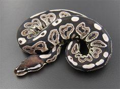 Axanthic Black Pastel Ball Python Snake