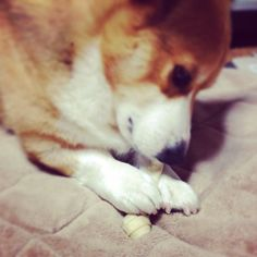 His hand is very cute! #dog #corgi