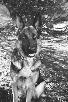 Schatzie the German Shepherd German Shepherd Pictures, Big Thighs, Rough Collie, Pet Photographer, Schaefer, Dog Beach, Cute Little Animals, Pretty And Cute, Working Dogs