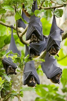 Spectacled flying foxes (bats), Australia.