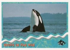 1995 SkyBox Free Willy The Adventure Home Orcas in the wild: spyhopping Front Free Willy, Sports Gallery, Orcas, Trading Card Database, Trading Cards, Whale, Adventure, Animals, Killer Whales