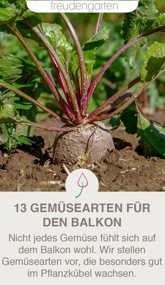 The best vegetables for balconies, planters or high bees .-Die besten Gemüse-Arten für Balkon, Pflanzkübel oder Hochbeet Growing vegetables on the balcony is possible with these tips and ideas. Balcony Planters, Balcony Garden, Indoor Planters, Growing Plants, Growing Vegetables, Weed Seeds, Deciduous Trees, Back Gardens, Fruit Trees