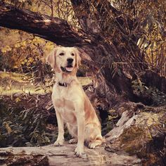 "7 To se mi líbí, 2 komentářů – Lucky the Golden (@luckygoldenretriever2018) na Instagramu: ""Our dog model#beuty#princessdog#autumnwalk#goldenretriever#puppy#czech"" Labrador Retriever, Dogs, Model, Animals, Instagram, Labrador Retrievers, Animales, Animaux, Animais"