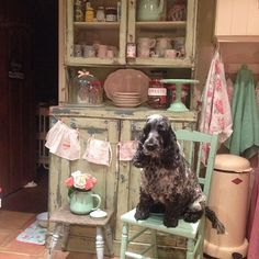 Carefully watching me cook tea just incase I drop a crumb 🐶 #cockerspaniel#ruby#kitchen#clutter#vintage#shabbychic