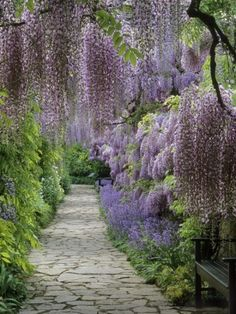 Stunning Wisteria, perfect for pathways. Order here - http://www.jerseyplantsdirect.com/wisteria-purple-falls-1-9cm-pot