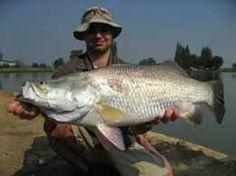 Barramundi fish.