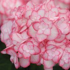 Hydrangea macrophylla 'Miss Saori' - Shrubs & Roses - Thompson & Morgan. Likes sun or partial shade