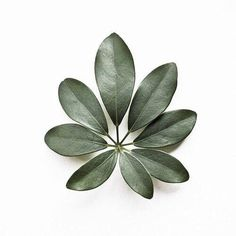 eight // schefflera arboricola // botanical portraits // Motif Tropical, Plants Are Friends, Green Life, Green Plants, Indoor Plants, House Plants, Planting Flowers, Plant Leaves, Green Leaves