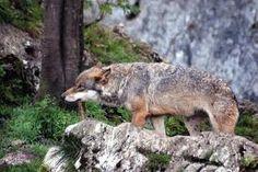 le loup dans le Massif du Jura, Franche-Comté