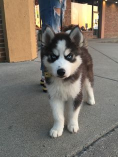 Cute Overload: Internet`s best cute dogs and cute cats are here. Aww pics and adorable animals. White Husky Puppy, Cute Husky Puppies, Super Cute Puppies, Chihuahua Puppies, Cute Dogs, Dogs And Puppies, Doggies, Baby Huskies, Siberian Huskies
