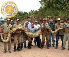Sucuri é a maior cobra do Brasil(anaconda) isto  se vivo!