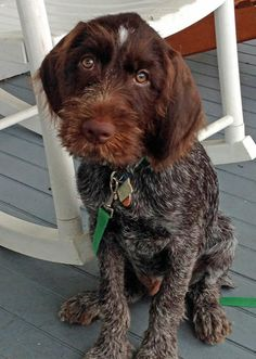 Gifford the Wirehaired Pointing Griffon from The Daily Puppy.com