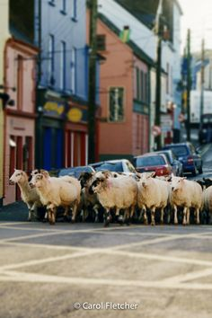 Dingle Sheep Photography - Ireland Photography - sheep in the road - flock of sheep - herd of sheep - irish - Éire - Gaeltacht - sheep in dingle street - sheep photography - Dingle Ireland  First we heard the bells, then the footsteps. Then they were alongside us. Erin Go Bragh, Professional Photo Lab, England And Scotland, Romantic Dates, My Heritage, Color Theory, Northern Ireland, Border Collie, Sheep