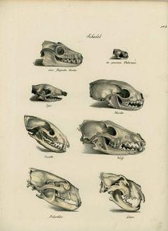 1824 skulls original antique animal anatomy lithograph