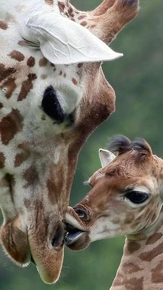 These beautiful animals sadly are disappearing.before scientists even have begun to understand them well. I would hate to see the beloved giraffe disappear from superstitions-related over-hunting. Giraffe Pictures, Animal Pictures, Cute Pictures, Cute Baby Animals, Animals And Pets, Funny Animals, Animals With Their Babies, Mother And Baby Animals, Beautiful Creatures