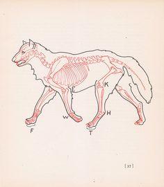 Vintage Wolf Anatomy Print Skeleton by vintagegoodness on Etsy