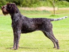 wirehaired german pointer - Google Search