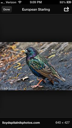 Wonderful photo of a European starling