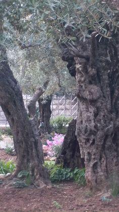 Israel-Gethsemane..olive trees.....we saw this...November 2012 with Polk Street Methodist Tour